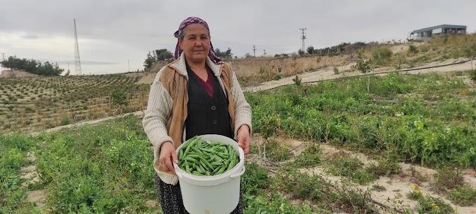 Tarsus 'ta iki ay önceden Araka hasadı gerçekleşti
