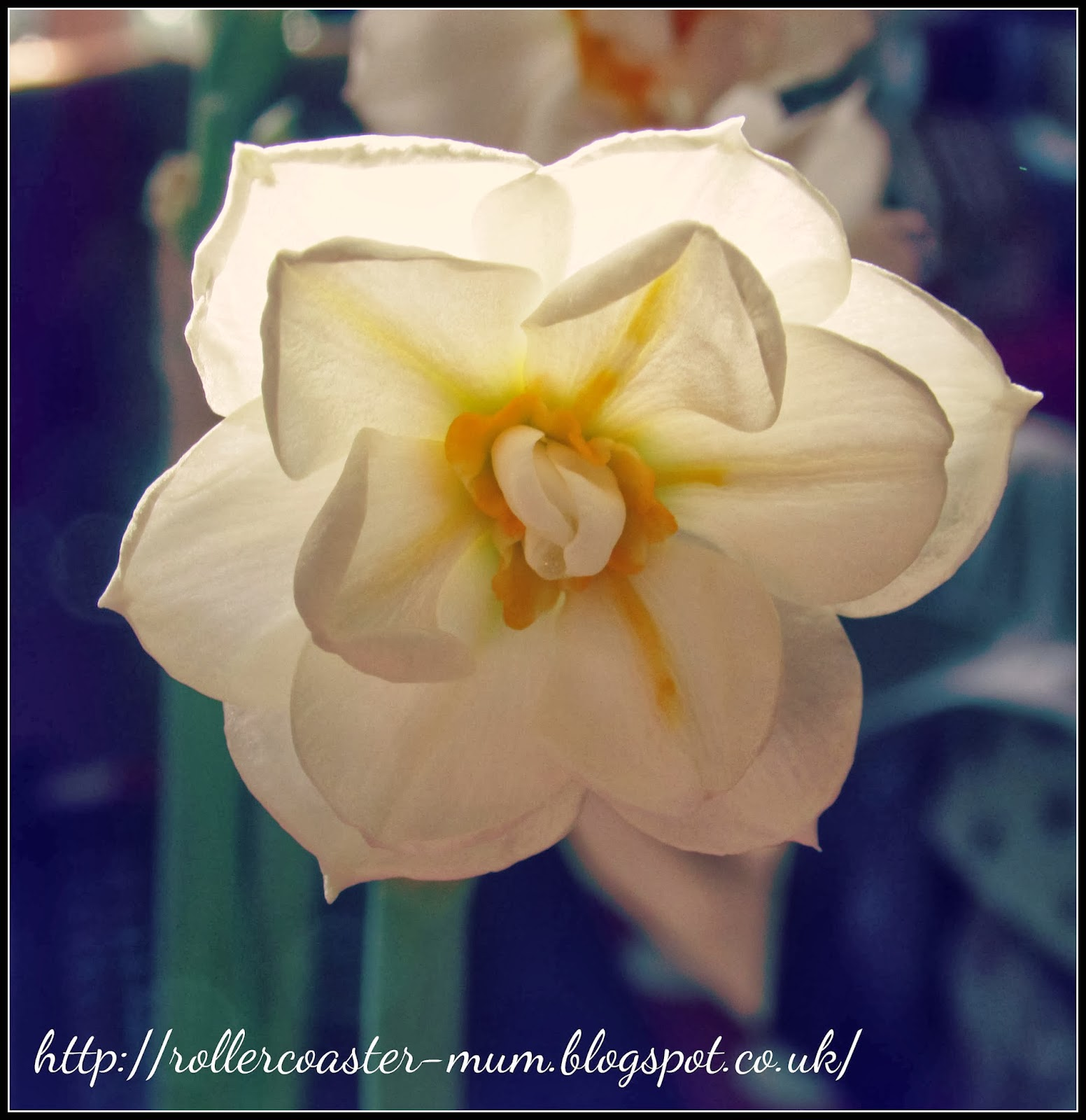 Christmas narcissus, daffodil flower