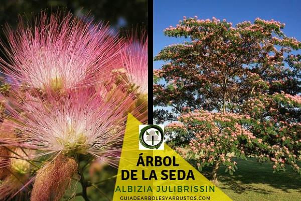 El árbol de la seda, Albizia julibrissin, originario de Irán a China, Taiwán y Asia subtropical.