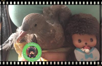 Baby le Bebichhichi et Colombine le bébé pigeon pigeonneau oisillon - ramier