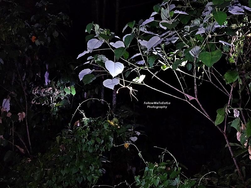 Myne Resort Bilit - Night Safari - Praying Mantis