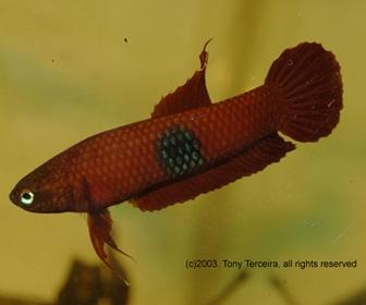 Jenis Ikan Cupang Spesies Betta Brownorum