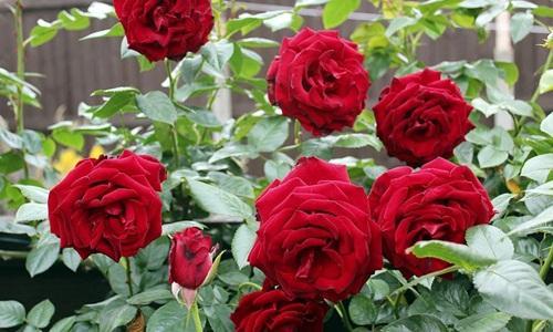 masker mawar untuk jerawat