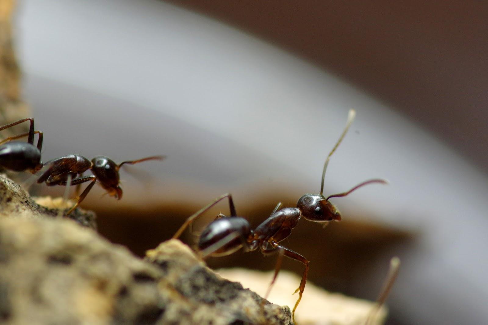 自己養的螞蟻