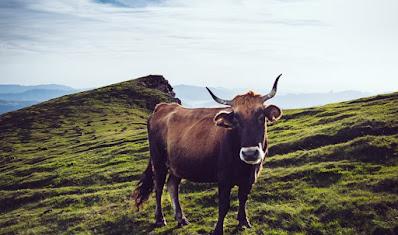 Sistem dan Tata kelola ternak sapi