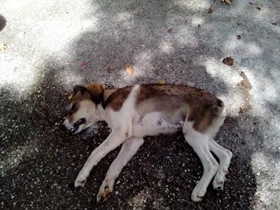 Αποτέλεσμα εικόνας για agriniolike σκύλοσ