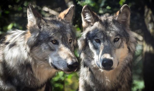 Wolf animals