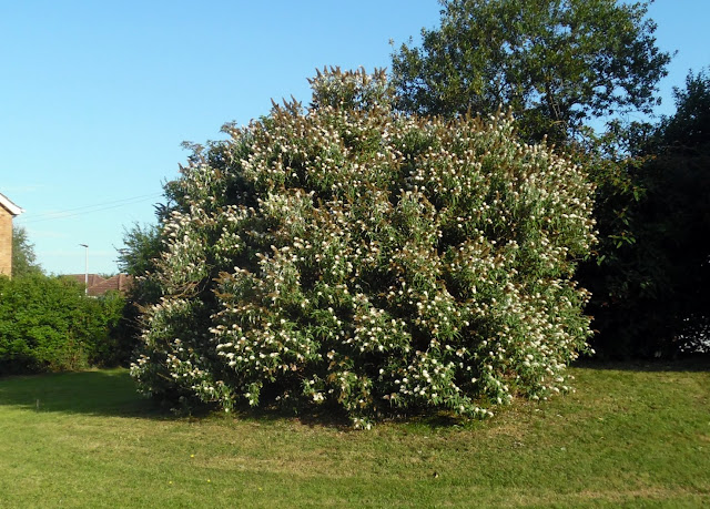 Thought to be the biggest Buddleia bush in Brigg - located on the Davy Memorial Playing Field, August 2020 - pictured on Nigel Fisher's Brigg Blog