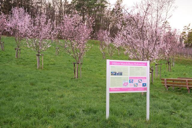 Pfälzer Mandelpfad | Etappe 05 Edenkoben – Birkweiler | Wandern Südliche Weinstraße | Mandelblüte Pfalz 18