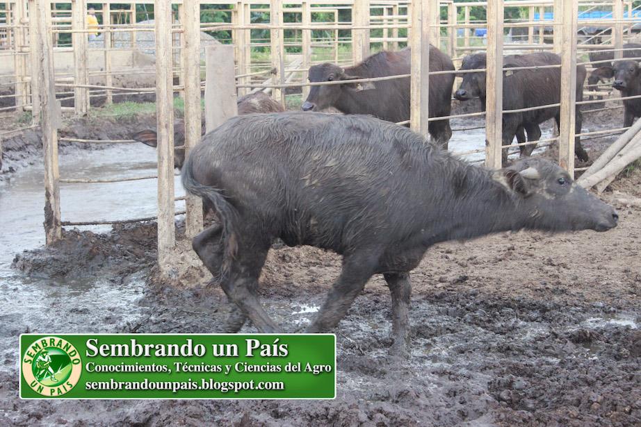 búfalo pequeño corriendo