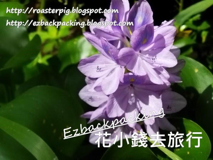 新田鳳眼藍開花
