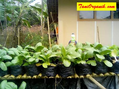 Tips Menyuburkan Budidaya Pakcoy di Polybag (Ibu Dewi, Ciamis, 2015)