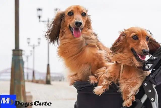 dachshund puppies dachshund puppies for sale dachshund rescue dachshunds for sale dachshund pronunciation dachshund mix dachshund chihuahua mix dachshund rescue near me