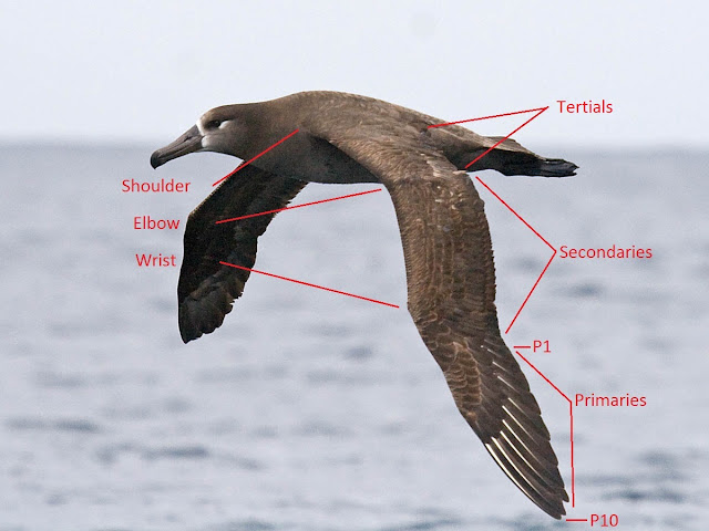 How to Identify Birds in Flight