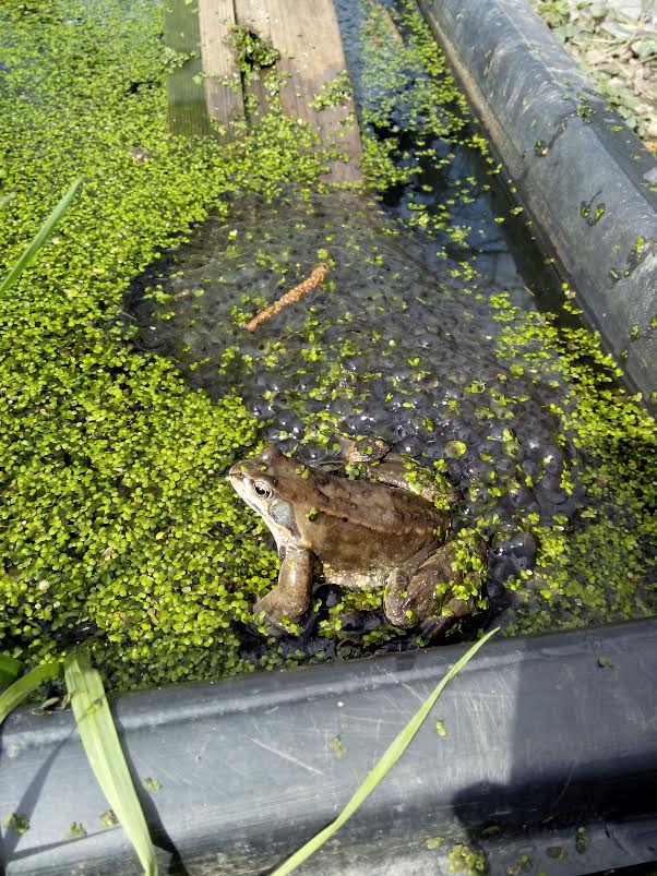 Les jardins du laveu les grenouilles sont de retour au jardin for Au jardin by les amis