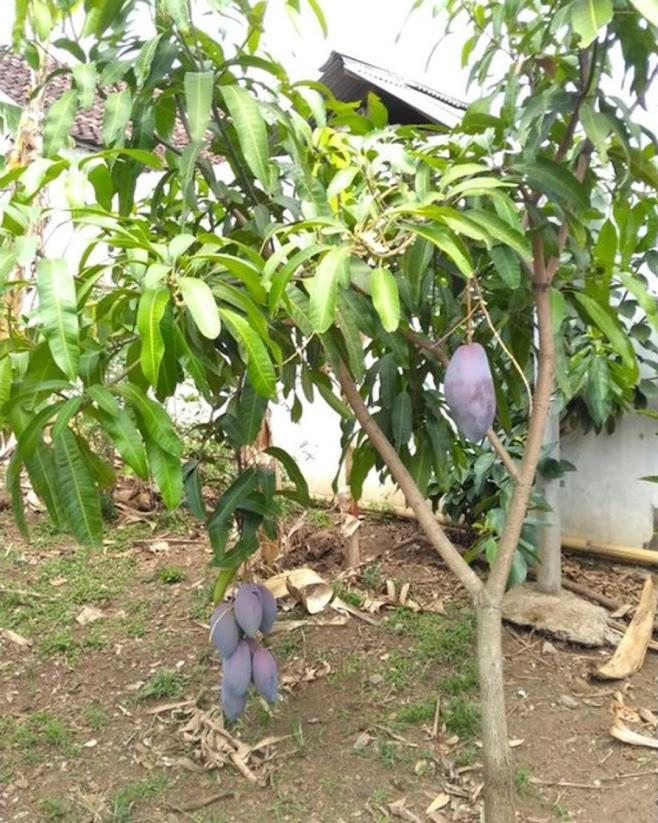 Bibit tanaman mangga red emperor VALID BELI 3 BONUS BIBIT ANGGUR Bandar Lampung