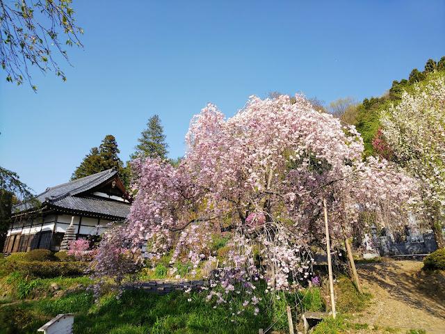 長瀞 法善寺 枝垂れ桜