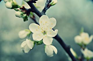 rama-con-flor-del-cerezo