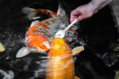 Pakan Pelet Ikan Koi Import Yang Berprotein Tinggi