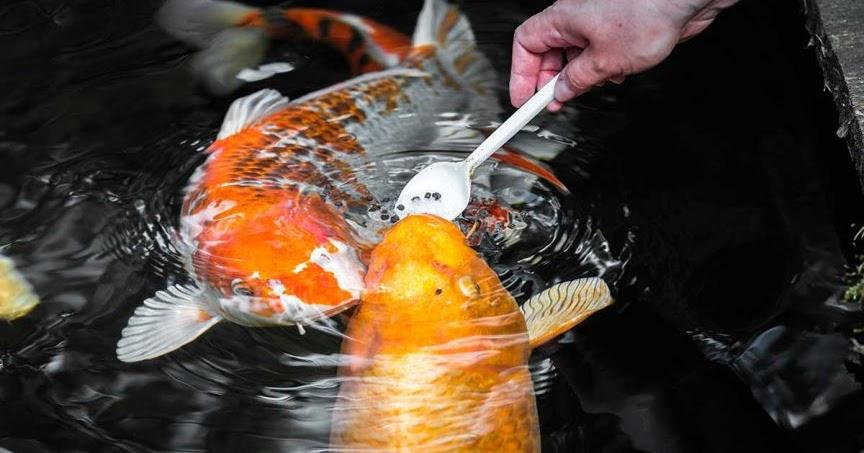 Pakan Pelet Ikan Koi Import Yang Berprotein Tinggi Ikanesia Id