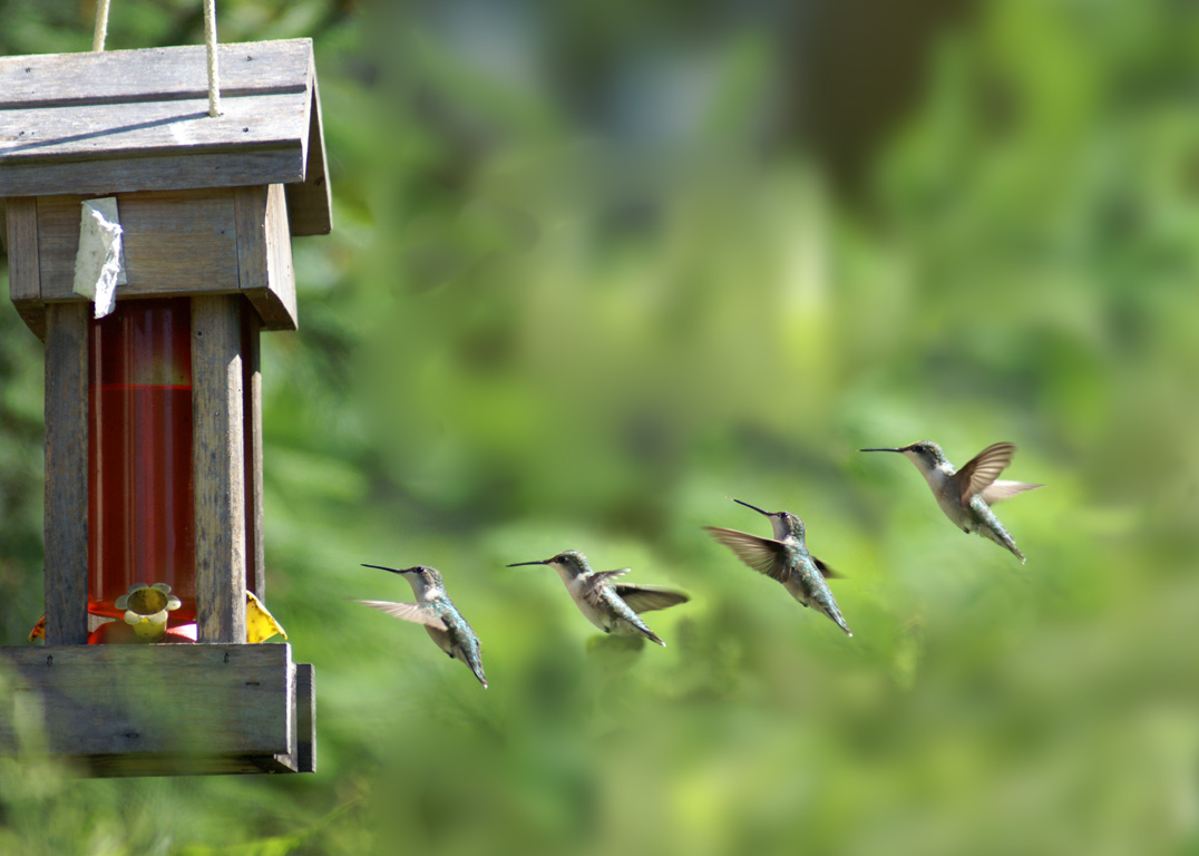Controlling Hummingbird Feeder Pests Ants Bees And Wasps