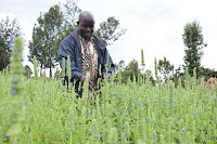 chia seeds farming in Njoro