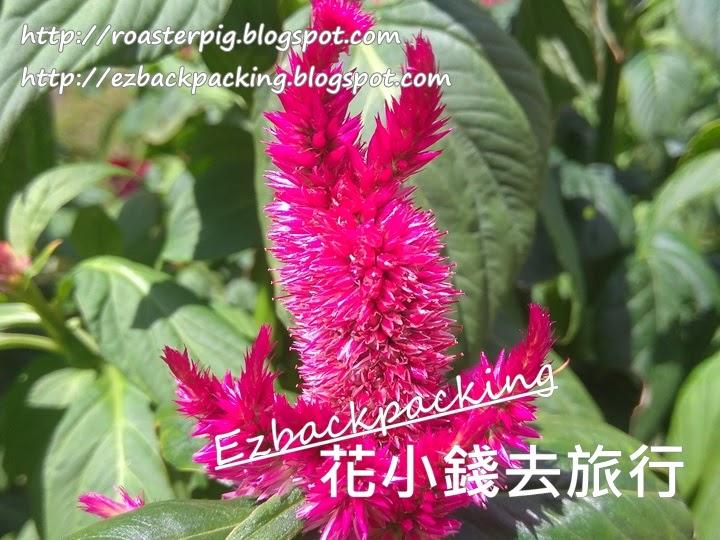 香港雞冠花