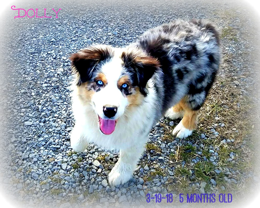 Red Dirt Crossing Aussies Happy 5 Month Old Birthday Today Dolly 3
