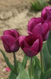 lalele purple lady din clasa triumph