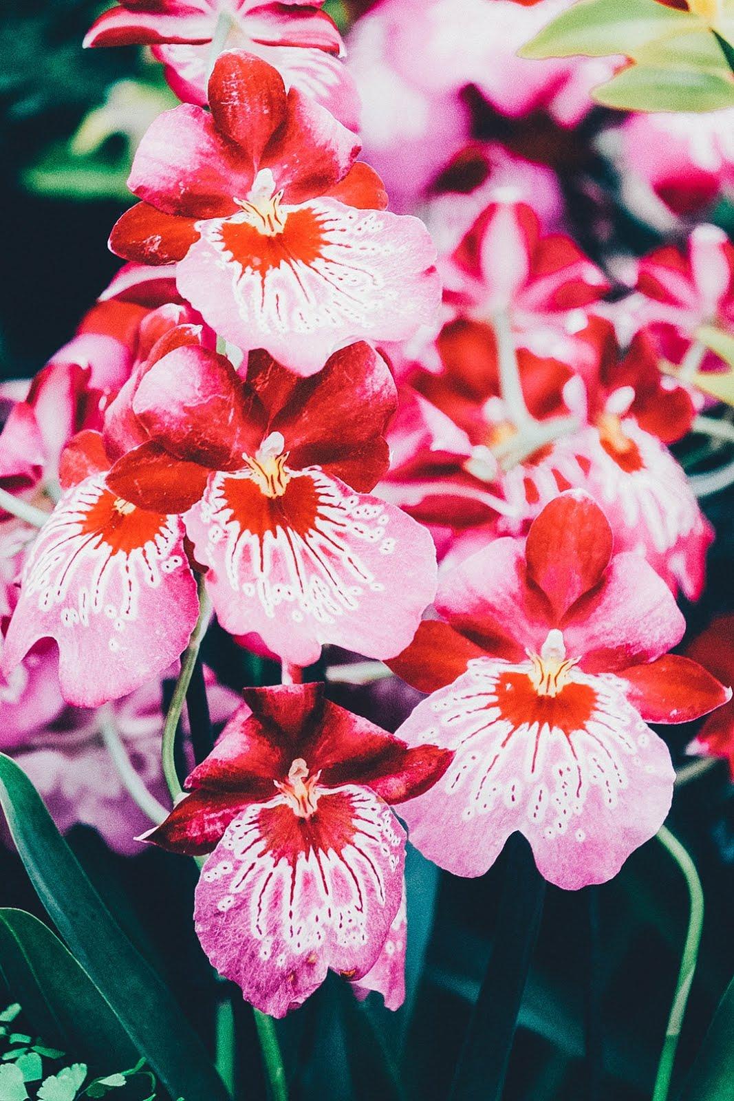 زهور حمراء متفتحة ذات الوان زاهية خلفيات ايفون 6s