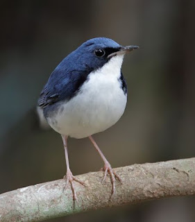 Suara Burung Robin Biru/Berkecet Siberia