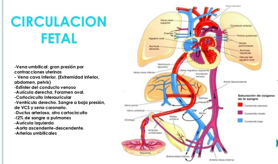 Neo médico : Circulación fetal y circulación neonatal.