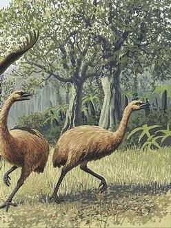 Ilmuwan Ungkap Sejarah Kepunahan Burung Moa Ilmuwan Ungkap Sejarah Kepunahan Burung Moa