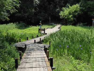 大阪府 四條畷市 むろいけ園地 湿生花園 カキツバタ園