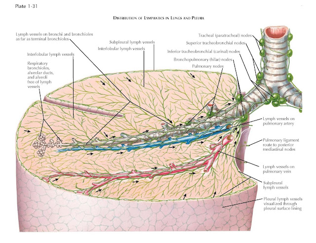DISTRIBUTION OF LYMPHATICS IN LUNGS AND PLEURA