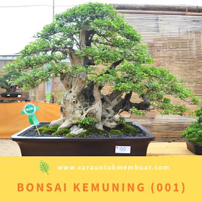 Bonsai Kemuning (001)