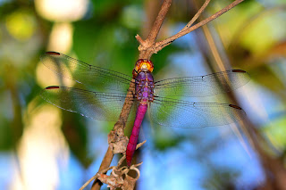 dragonfly in Costa Rica