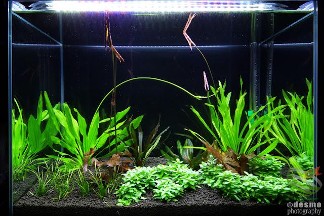 Echinodorus water tank