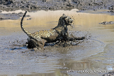 http://africageographic.com/blog/a-savuti-fishing-leopard-in-action/
