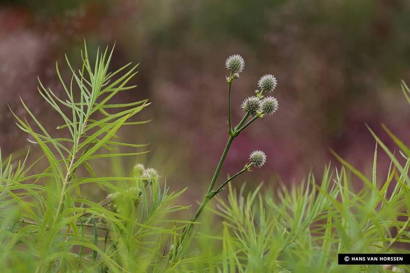Eryngium yuccifolium.