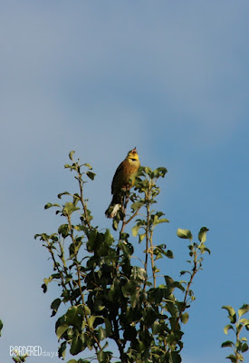 Bird singing on top of a wild pear tree