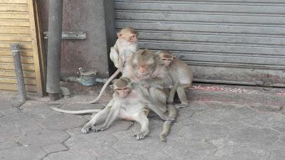 Lopburi scimmie
