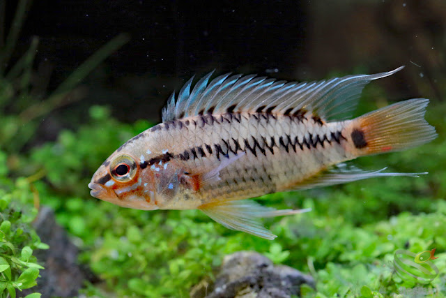 Apistogramma Viejita / CL: unknown