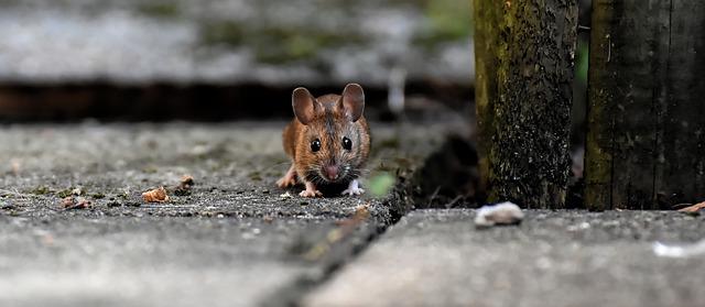 12 Cara Ampuh Mengusir Tikus Curut Di Rumah Secara Alami