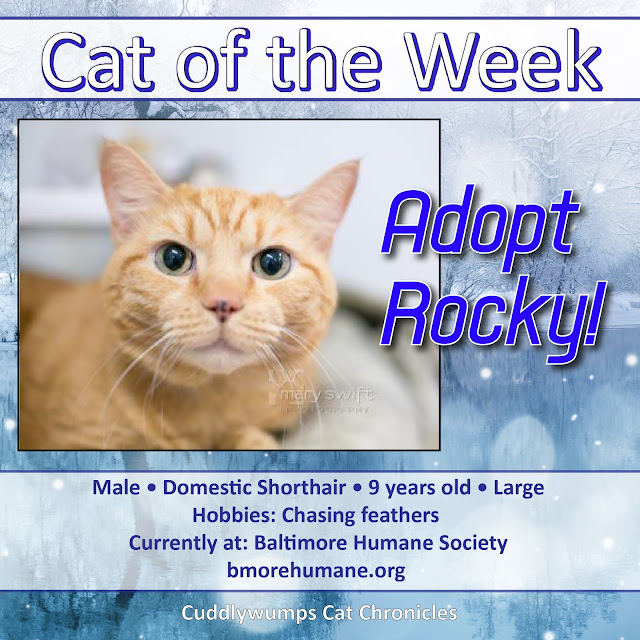 Adopt Rocky, 9-yr-old male domestic shorthair, orange tabby, Baltimore Humane Society