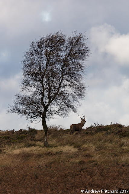 A young stag stands next to tree.