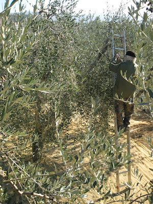 Olive trees and the ladder to get on them during harvest