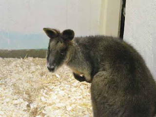 A Swamp Wallaby At The Toronto Zoo.