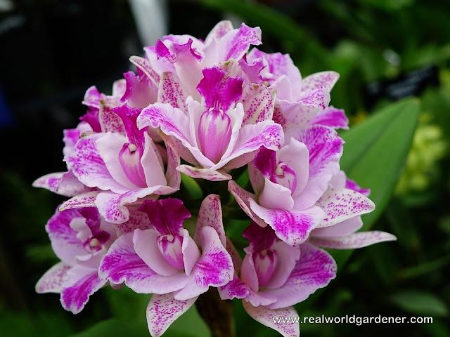 1-orchids_dendrobium.jpg