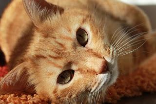 Berapa Lama Kucing Mengandung Anaknya